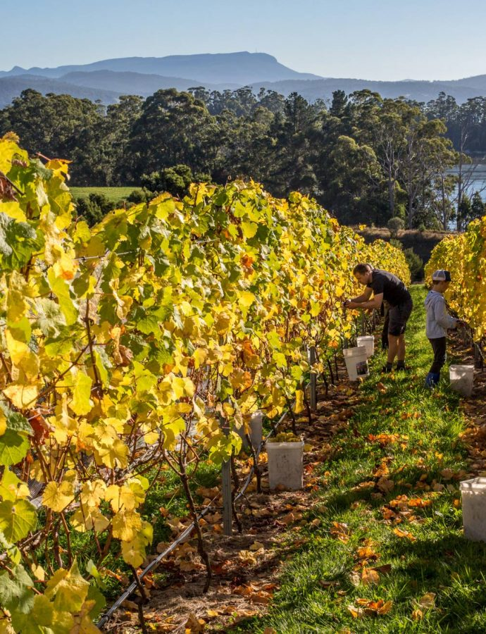 Tasmanian wine's future is not only sparkling … it  is vibrant!